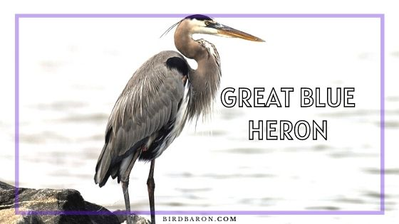 Great Blue Heron - Facts | Nest | Habitat | Flying | Wingspan