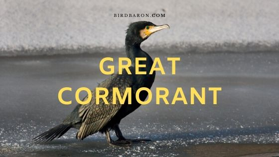 Description et faits du grand cormoran