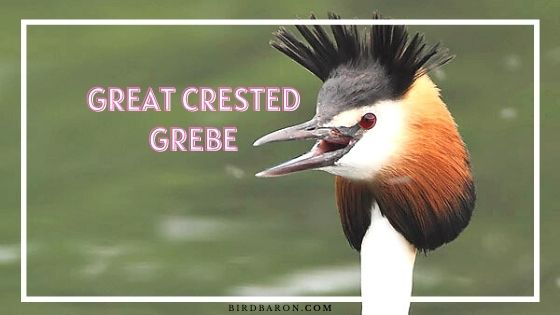 Great Crested Grebe - Facts | Profile | Call | Eggs | Size