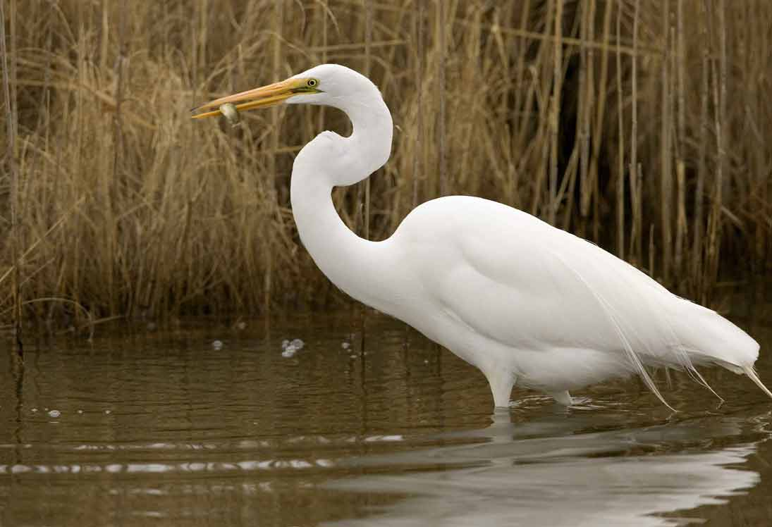 Great Egret - Profile | Habitat | Facts | Flight | Nest | Call