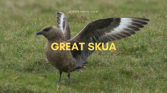 Great Skua (Stercorarius skua) Bird Profile