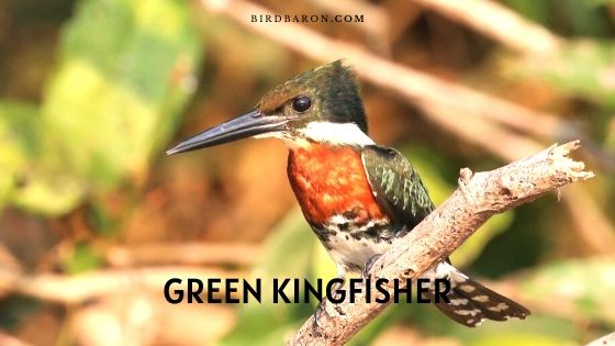 Green Kingfisher Bird - Description | Fact | Call | Range
