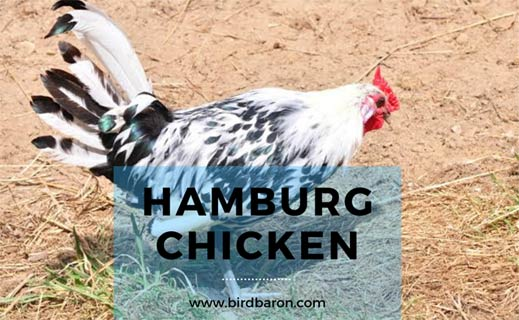 Hamburg Chicken Breed - Golden | Blue | Eggs | For Sale