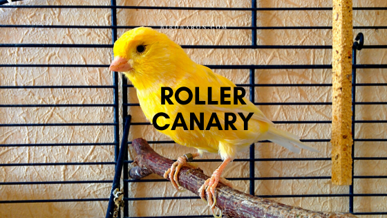 Harz Roller Canary Bird Faits et informations