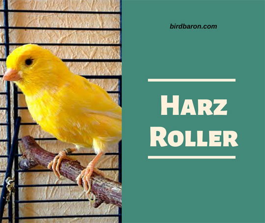 Harz Roller Canary - Singing Price For Sale