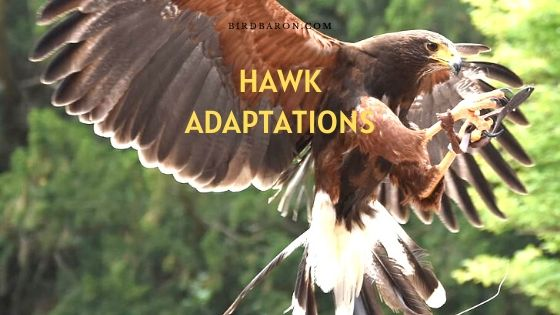 Adaptations Hawk - Comment survivent-ils?