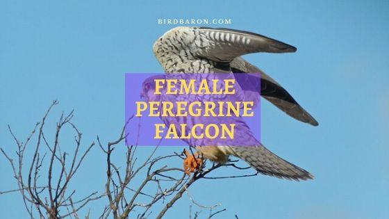 En qué se diferencia el halcón peregrino hembra