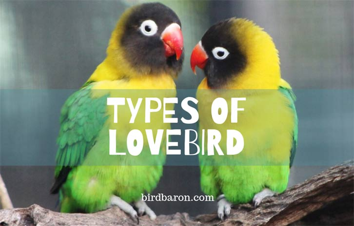 How many Types of Lovebird are there?