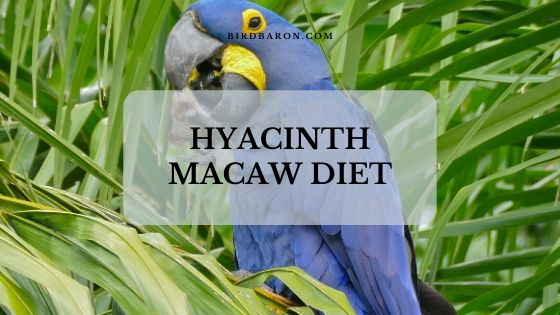 Hyacinth Macaw Diet, Food and Eating Nature