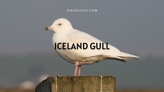 Description du goéland d'Islande (Larus glaucoides)