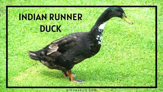 Indian Runner Duck - Eggs | Colors | Lifespan | Care