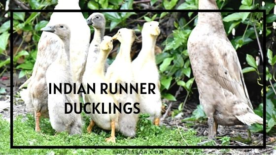 Indian Runner Ducklings - Running | Sale | Care