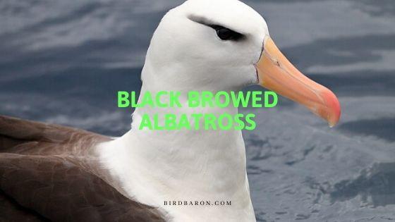 Is a Black Browed and Campbell Albatross Same?