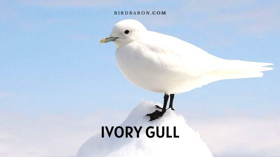 Ivory Gull - Description | Facts | Range | Call