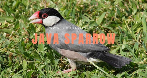 Java Sparrow - Java Finch Facts | Pet | Lifespan