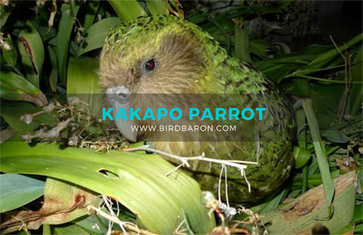 Kakapo Parrot - Flightless Parrot from New Zealand
