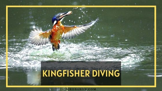 Kingfisher Diving - How Fast Does A Kingfisher Dive?