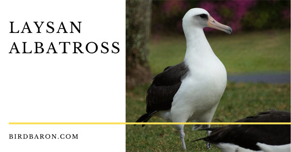 Laysan Albatross - Lifespan and Wisdom