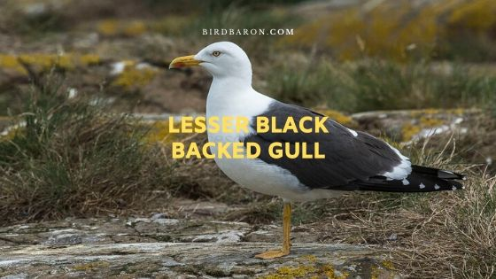 Lesser Black Backed Gull (Larus fuscus) Description