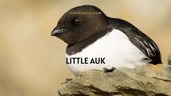 Little Auk or dovekie (Alle alle) Description