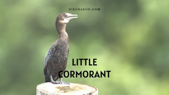 Little Cormorant (Microcarbo niger) Bird Profile