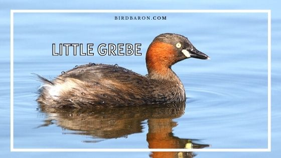 Little Grebe Bird - Facts | Profile | Call | Chick