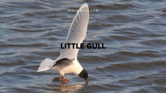Little Gull Description et faits