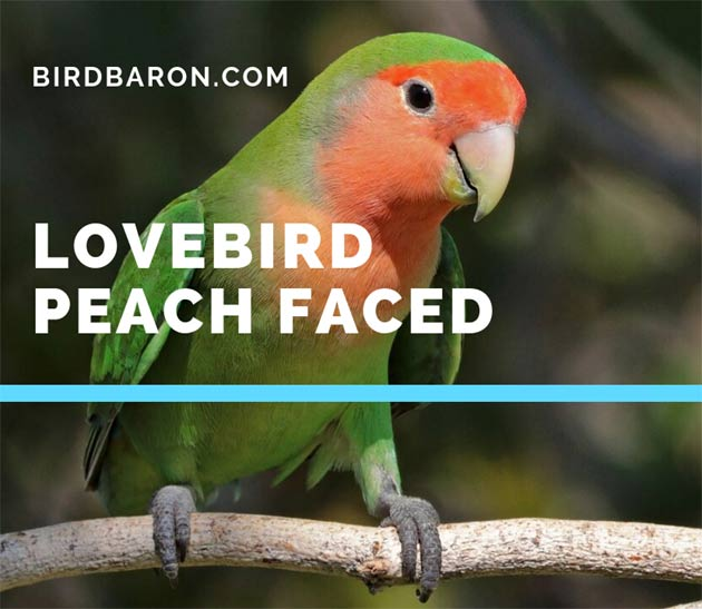 Lovebird peach faced - Lifespan | Food | Care | Personality