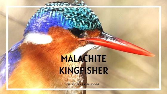 Malachite Kingfisher Bird - Facts | Juvenile | Call | Diet