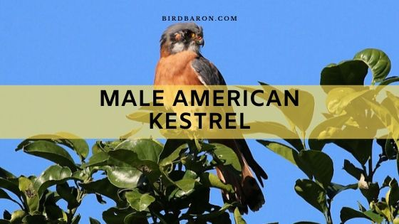 Male American Kestrel Falcon Profile and Overview