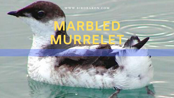 Marbled Murrelet (Brachyramphus marmoratus) Facts