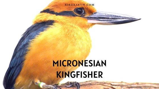 Micronesian (or Guam) Kingfisher - Description | Facts