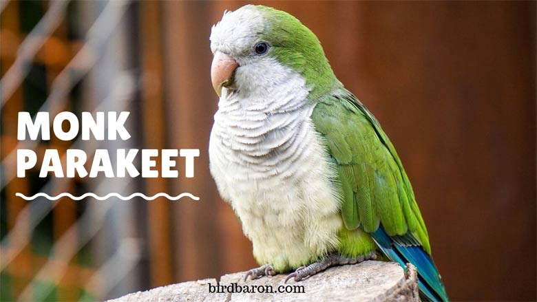 Monk Parakeet - Nest | Size | Lifespan | Facts