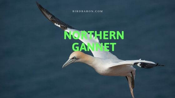 Northern Gannet (Maurice busanus) Bird Profile