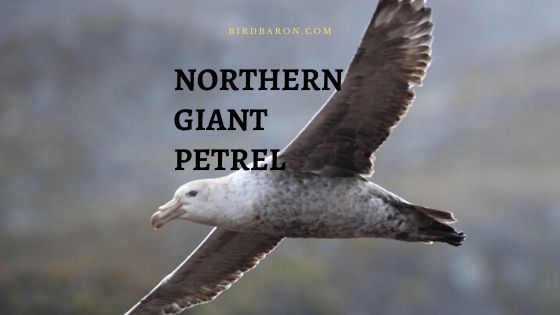 Northern Giant Petrel (Macronectes halli) Profile