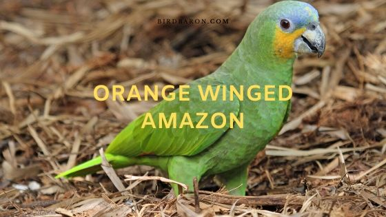 Επισκόπηση Orange Winged Amazon (Amazona amazonica)