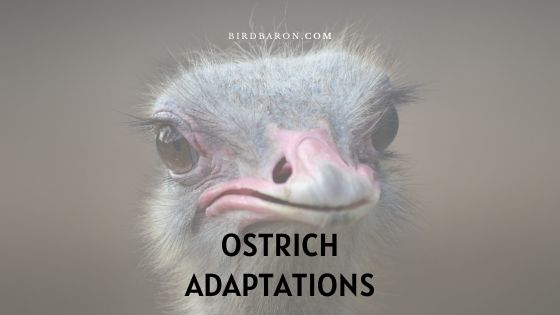 Ostrich Adaptations - How Do Ostriches Survive?