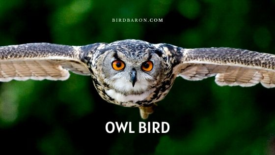 Owl Bird Traits, Adaptations and Surprising Facts