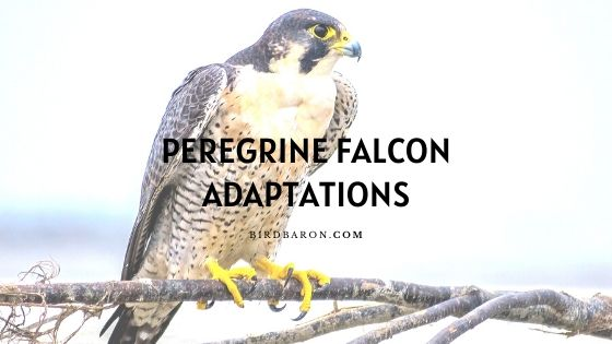 Peregrine Falcon Adaptations - How do They Survive?