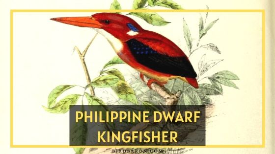 Philippine Dwarf Kingfisher Bird - Profile | Nest | Threats