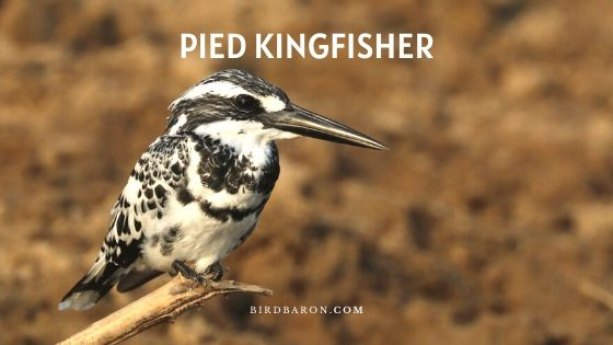 Pied Kingfisher Bird - Faits et description