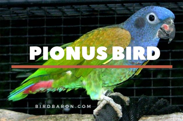 Pionus Parrot Bird - How much does a pianos parrot cost?