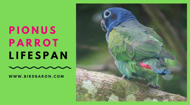 Pionus Parrot Lifespan - How Long a Pionus Parrot Live?