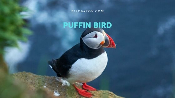 Puffin Bird Opis in dejstva