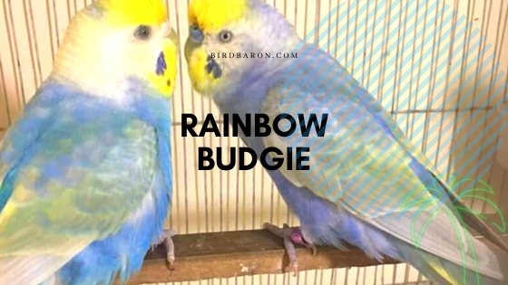 Rainbow Budgie Bird Profile and Information