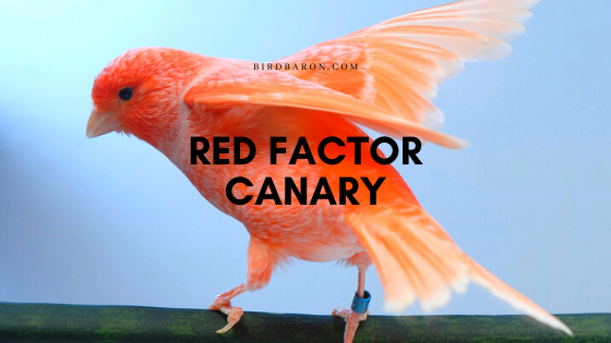 Red Factor Canary Facts, Profile and Information
