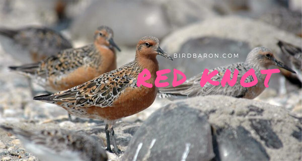 Red Knot - Why does the red Knot Breed in the Arctic?