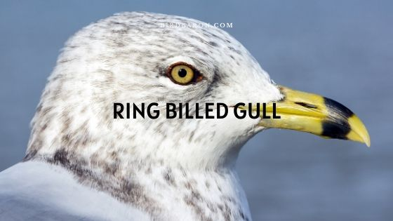 Ring-billed Gull Description and Facts