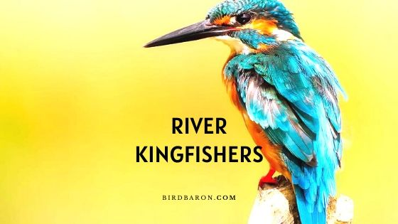 River Kingfishers - Facts | Description | Profile