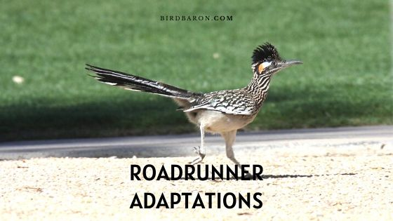 Adaptations du Roadrunner - Comment survivent-ils?